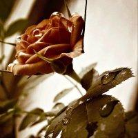 Мокрая роза :: Виктория Бессонова
