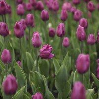 Последние тюльпаны :: Олег Чернышев