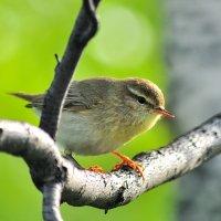 Весенний птах :: Artyom S