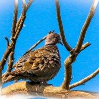 Дикий голубь :: Nikolay Volkov