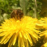 Работа пчелы :: Андрей Нелюбов
