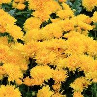 Майские хризантемы :: Светлана