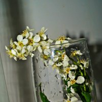 моя мини- черемуха)в бокале :: Валерия Воронова