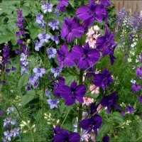 Пора цветения живокости :: Нина Корешкова