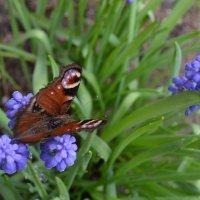 Мускарики и бабочка. :: zoja
