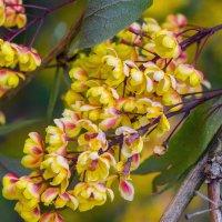 Цветы барбариса 3 :: Виталий
