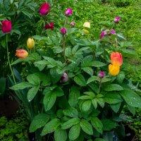 тюльпаны :: Марина Ломина