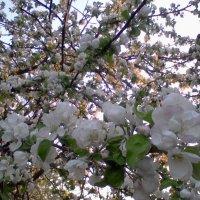 яблони в цвету... :: Галина