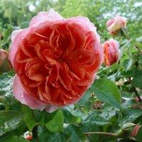Дождь и роза :: Galina Dzubina