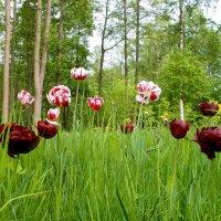 Вот так чудо из чудес! Тюльпанов вырос целый лес! :: VasiLina *