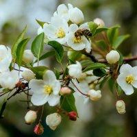 яблоня цветёт :: Сергей Сол