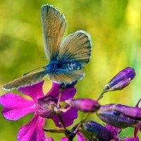 Бабочка на сиреневом цветке :: Юрий Стародубцев