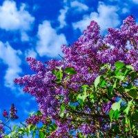 Цветущая сирень на фоне синего неба :: Сергей Тагиров