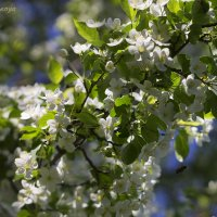 Стоят сады в сияньи белоснежном... :: Галина Стрельченя