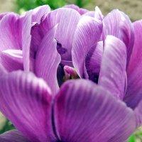 Майский фиолет :: Liliya Kharlamova