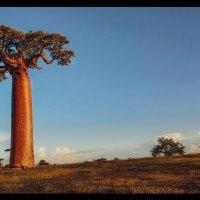 Перед закатом...Долина баобабов,Мадагаскар! :: Александр Вивчарик