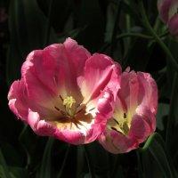 Отцветают тюльпаны... :: Ирина Румянцева