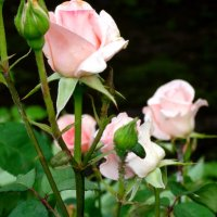 Майские розы... :: Тамара (st.tamara)