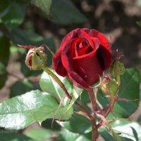 """""""Дева-роза"""" называли юных прекрасных девушек, напоминая, что их век красоты недолог. :: Anna Gornostayeva"""