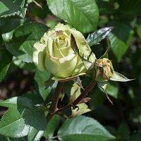 Розы зеленые (фисташковые). :: Anna Gornostayeva