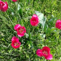 Тюльпаны :: Мила
