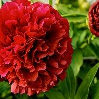 Красный и прекрасный... :: марк