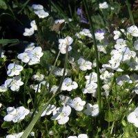 Расцвели в саду весной цветочки. :: Мила Бовкун
