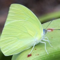 Lemon Migrant (Catopsilia pomona) или Лимонный эмигрант :: Антонина