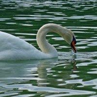 А белый лебедь на пруду... :: Galina Dzubina