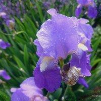 Ирис после дождя :: Nina Yudicheva
