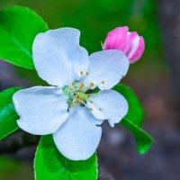 Цветение яблони :: Сергей Тагиров