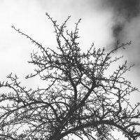 Старая груша :: Anatoly Dovzhik