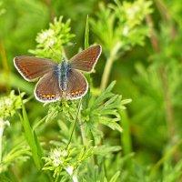 Голубянка восточная (самка) Plebejus subsolanus :: Александр Запылёнов