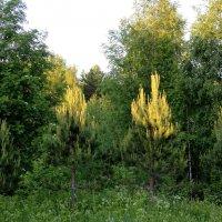 Солнце коснулось верхушек деревьев :: Андрей Скорняков