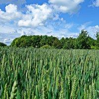 Пшеница колосится. На голубом и белом, Не хочет наклониться. Перед небесным телом... :: Galina Dzubina