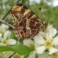 Бабочка на черёмухе :: Анатолий Аверкин