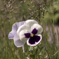 Цветок сбежавший с клумбы. :: Анатолий. Chesnavik.