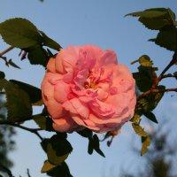 Роза в лучах закатного солнца. :: Владимир Боровков