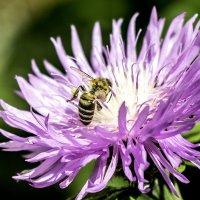 Без цветочков нету пчел ... :: Сергей Степанов