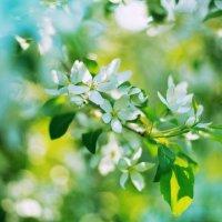 Белая яблоня в цвету :: Оксана Арискина