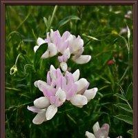 """Цветы """"земляного ореха"""" :: Владимир Бровко"""