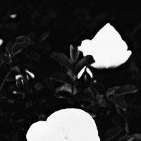 Розы :: Шура Еремеева