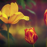 Тюльпаны. :: Юрий