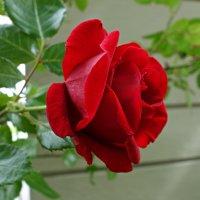 О роза, ты бываешь разной, И изумительно прекрасной… :: Galina Dzubina
