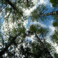 Сквозь узорные кроны деревьев , вижу неба лазурную синь!... :: Любовь Иванова