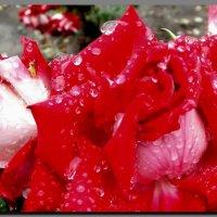 розы  и  дождь. :: Ivana
