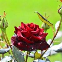 Розы. :: Береславская Елена