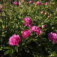 Летние цветы :: Aнна Зарубина