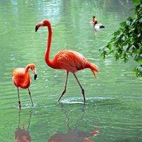 Фламинго в пруду :: Alexander Andronik