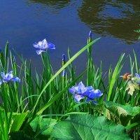 Ирисы у воды :: Nina Yudicheva